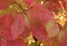 Autumn colors. Red leaves of viburnum Royalty Free Stock Image