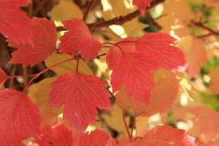 Autumn colors. Red leaves of viburnum Royalty Free Stock Photography