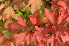 Autumn colors. Red leaves of viburnum Royalty Free Stock Photo
