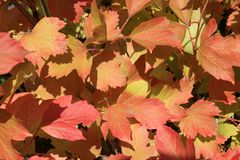 Autumn colors. Red leaves of viburnum Stock Image