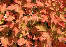 Autumn colors. Red leaves of viburnum Stock Images