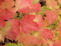 Autumn colors. Red and orange leaves of viburnum Stock Photos