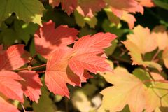 Autumn colors. Red, ylelow and green leaves Royalty Free Stock Photography