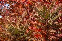 Autumn colors of the Rhus typhina Staghorn sumac, Anacardiaceae. Red, orange, yellow and green stock photo