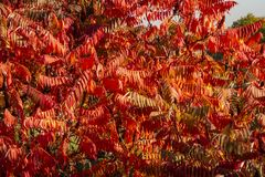 Autumn colors of the Rhus typhina Staghorn sumac, Anacardiaceae. Red, orange, yellow and green leaves of sumac stock photography