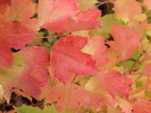 Autumn Colors Rojo y hojas anaranjadas del viburnum Fotos de archivo