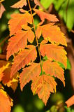 Autumn colors - rusty leaves Royalty Free Stock Images