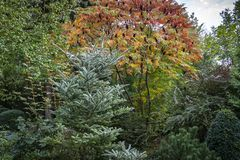 Autumn colors and shades of the leaves of Rhus typhina in evergreen garden. Red, orange, yellow and green leaves on the branches o. F sumac. Natural texture stock photo