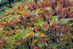 Autumn colors and shades on the leaves of Rhus typhina Staghorn sumac, Anacardiaceae. Red, orange, yellow and green leaves on th. E branches of sumac. Natural royalty free stock photo