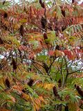 Autumn colors and shades on the leaves of Rhus typhina Staghorn sumac, Anacardiaceae. Red, orange, yellow and green leaves on th. E branches of sumac. Natural royalty free stock photos
