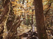 Autumn colors of the subpolar beech forests of Navarino island, Chile - the world's southernmost forests. Nothofagus, also known as the southern beeches, is a Stock Photography