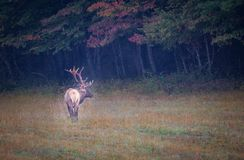 Autumn colors surround large male elk standing in meadow. In North Carolina Royalty Free Stock Photo