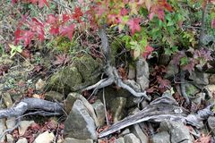 Autumn Colors on Sweetgum Leaves with Lakewood and Stones. A tight view of the lake shore during Autumn. The sweetgum tree is a prominent color changer, this stock image