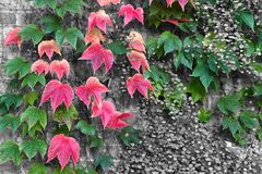 autumn colors of a three-pointed vine contrasting with a muehlenbeckie on a brick wall in black and white