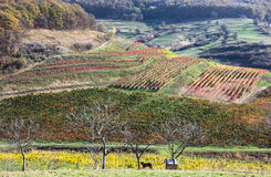 Autumn colors. Of a vineyard in Transylvania royalty free stock photo