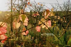 Autumn colors of vineyards. Colorful autumn leaves. Autumn vineyards at sunrise. Close-up. stock image