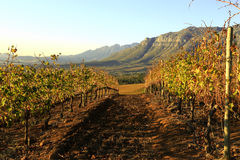 Autumn colors in the vineyards. Vineyards in Autumn in Stellenbosch Western Cape Royalty Free Stock Photo
