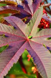 Autumn colors - violet star leaf and green bug Stock Photos