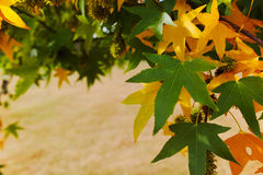 Autumn colors - yellow japanese maple tree leafs (Acer palmatum. ) and yellow grass royalty free stock photography