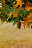 Autumn colors - yellow japanese maple tree leafs (Acer palmatum. ) and yellow grass royalty free stock images