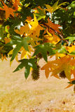 Autumn colors - yellow japanese maple tree leafs (Acer palmatum. ) and yellow grass stock image