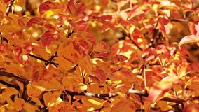 Autumn colors yellow red tree leaves sunny day. Autumn colors. Yellow red tree leaves. Sunny day. Nature park stock footage