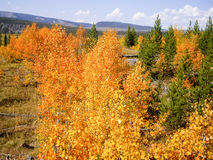 Autumn Colors at Yellowstone Stock Images