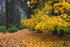 Autumn colors in Yosemite Stock Photo