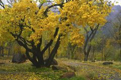 Autumn colors in Zion Canyon. Colorful trees on an overcast autumn day in Zion Canyon, Southern Utah Stock Photos