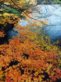 Autumn colour of leaves in Japnese garden. Autumn colour of leaves in Shinjuku, Tokyo Japnese garden at sunny day stock images