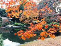 Autumn colour of leaves in Japnese garden. Autumn colour of leaves in Shinjuku, Tokyo Japnese garden at fall royalty free stock images