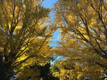 Autumn colour of leaves in Japnese garden. Autumn colour of leaves in Shinjuku, Tokyo Japnese garden at sunny day royalty free stock photos