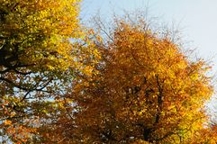 AUTUMN COLOUR LEAVES ON SUNNY DAY COPENHAGEN. Copenhagen/Denmark 02..November 2018.. Autumn colour leaves on sunny day in danish capital Copenhagen Denmark royalty free stock photography