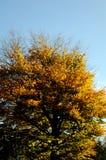 AUTUMN COLOUR LEAVES ON SUNNY DAY COPENHAGEN. Copenhagen/Denmark 26..October 2018.. Autumn colour leaves on sunny day in danish capital Copenhagen Denmark. Photo stock image