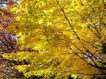 Autumn in colour. Maple tree in autumn showing the beautiful yellow foliage in toronto park Stock Photo