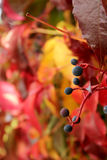 Autumn Coloured Leaves Background Imagens de Stock Royalty Free