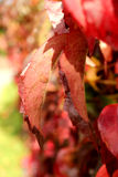Autumn Coloured Leaves Background Royalty Free Stock Photo
