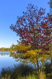 Autumn coloured tree at the water Royalty Free Stock Photography