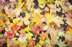 Autumn colourful leaves on the ground. Stock Images