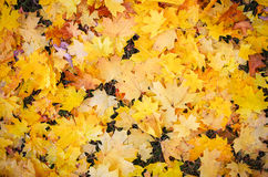 Autumn colourful leaves on the ground. Stock Photos