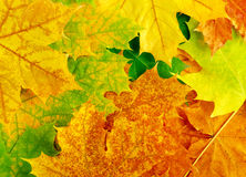 Colourful autumn maple leaves Royalty Free Stock Photos