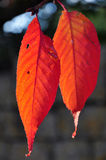 Autumn Colours. Orange red leaves in autumn, with shallow depth of field Stock Images
