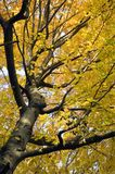 Autumn colours. Looking up into a autumn tree full of yellow leaves Royalty Free Stock Photo