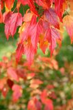 Autumn colours. Leaves of a tree turning into red in autumn Royalty Free Stock Photo