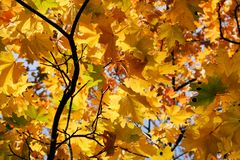 Autumn colours. Maple tree in autumn colours Royalty Free Stock Photos