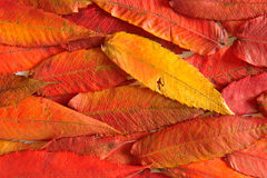Autumn colours-17. Colourful, autumn leaf, october. Colour background Stock Photography