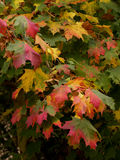 Autumn Colours. Branch of Tree Bearing Leaves in Autumn royalty free stock photos