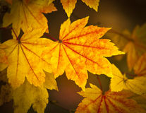 Autumn colours, Acer leaves Royalty Free Stock Photos