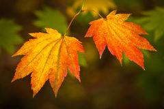 Autumn colours, Acer leaves Royalty Free Stock Photo