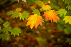 Autumn colours, Acer leaves Stock Images